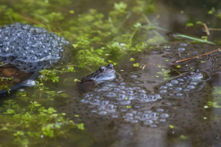 Frogs (Rana temporaria) and spawn